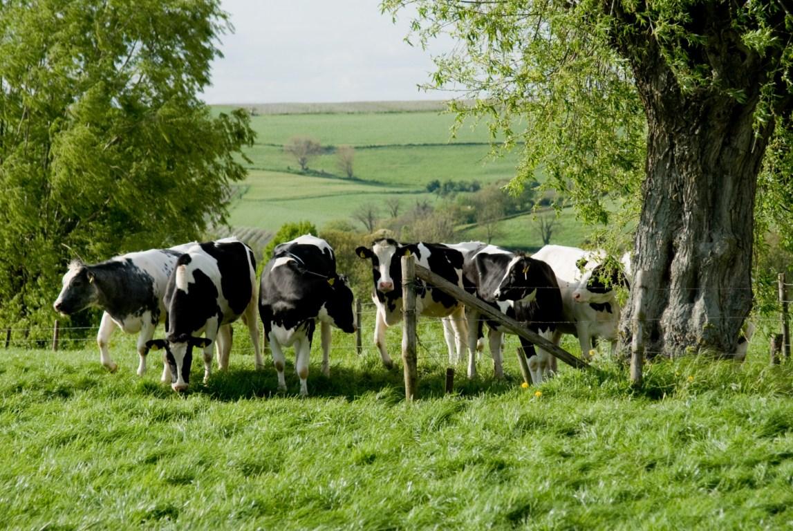 Limburgs landschap met koeien