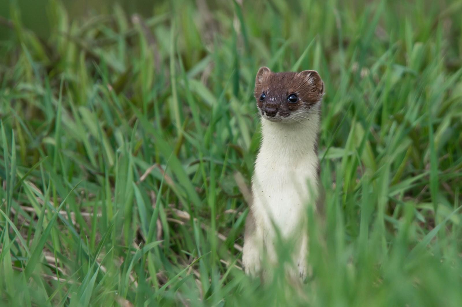 Hermelijn (Mustela erminea) (1)