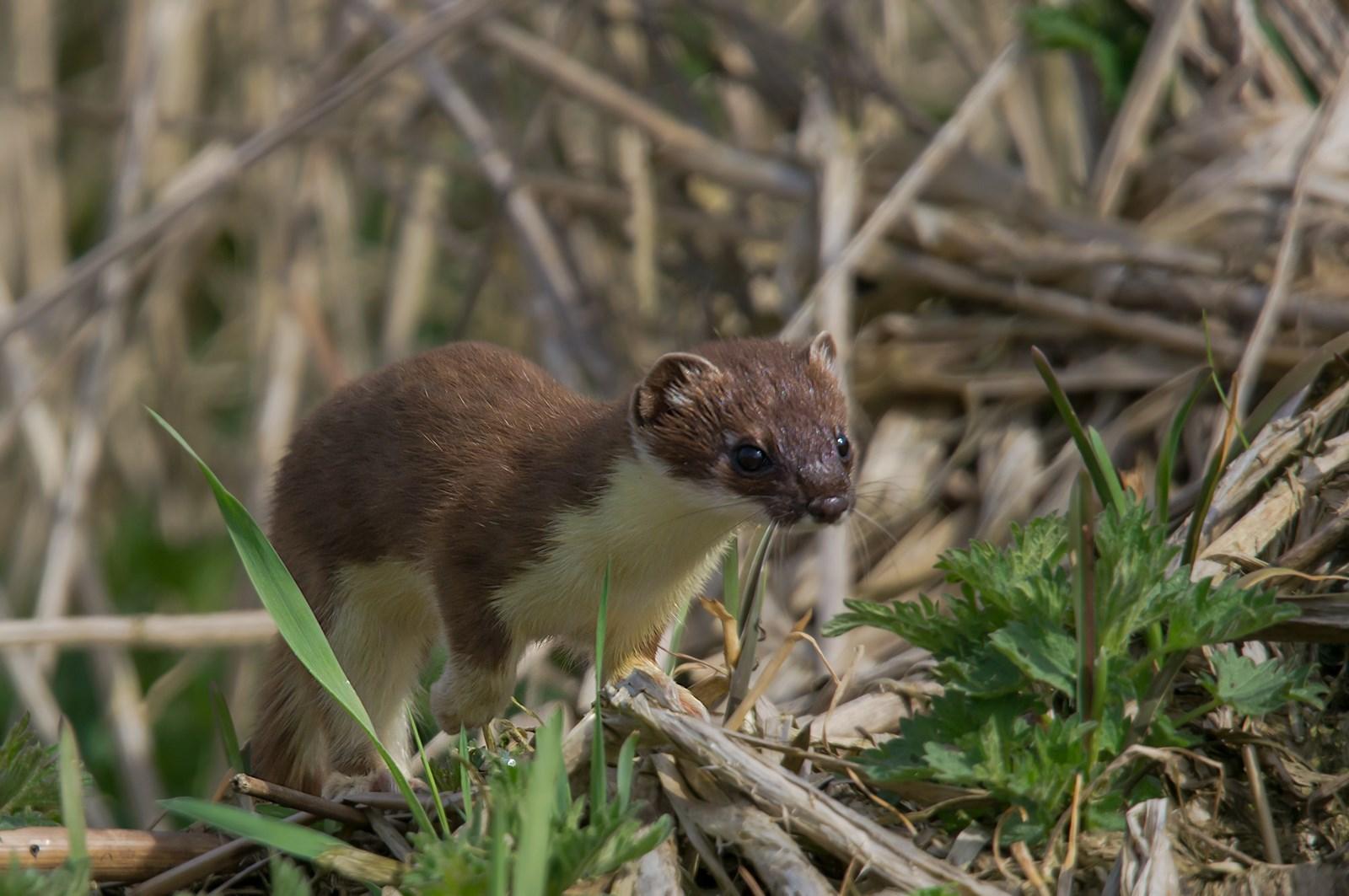 Hermelijn (Mustela erminea) (2)