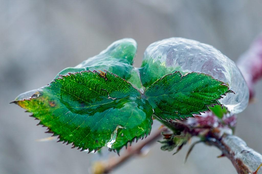 ijzel blad