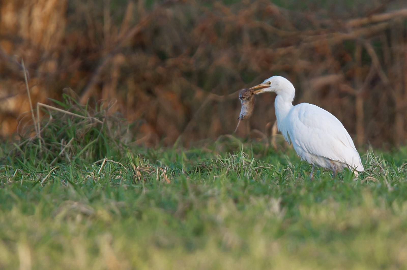 koereiger (Bubulcus ibis) (1)