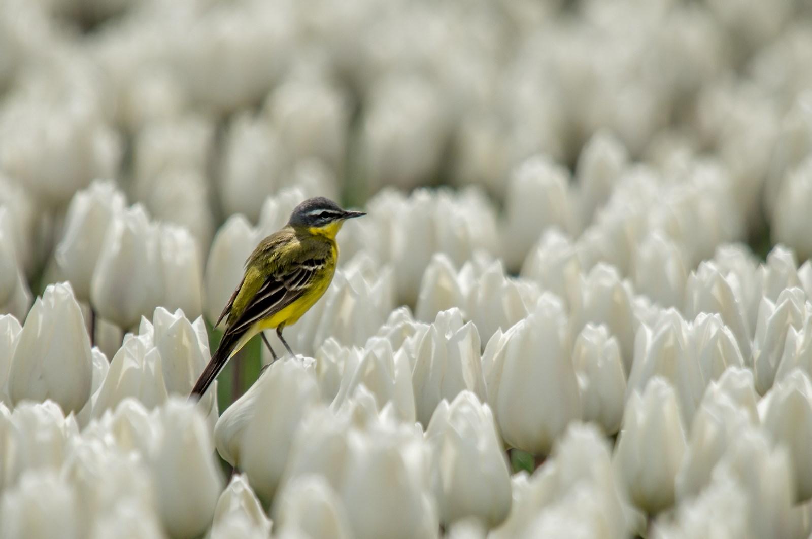 Gele kwikstaart in tulpenbollen (5)