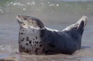 grijze zeehond (3)