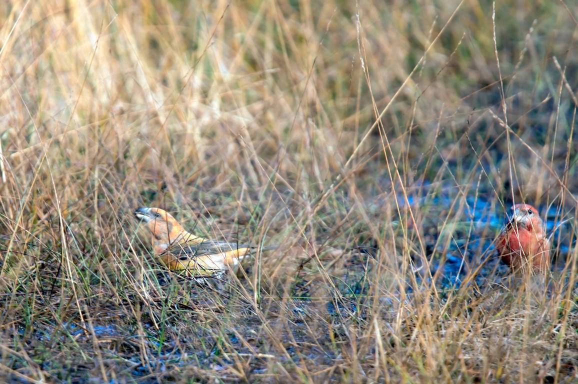 grote kruisbek (Loxia pytyopsittacus) (2)
