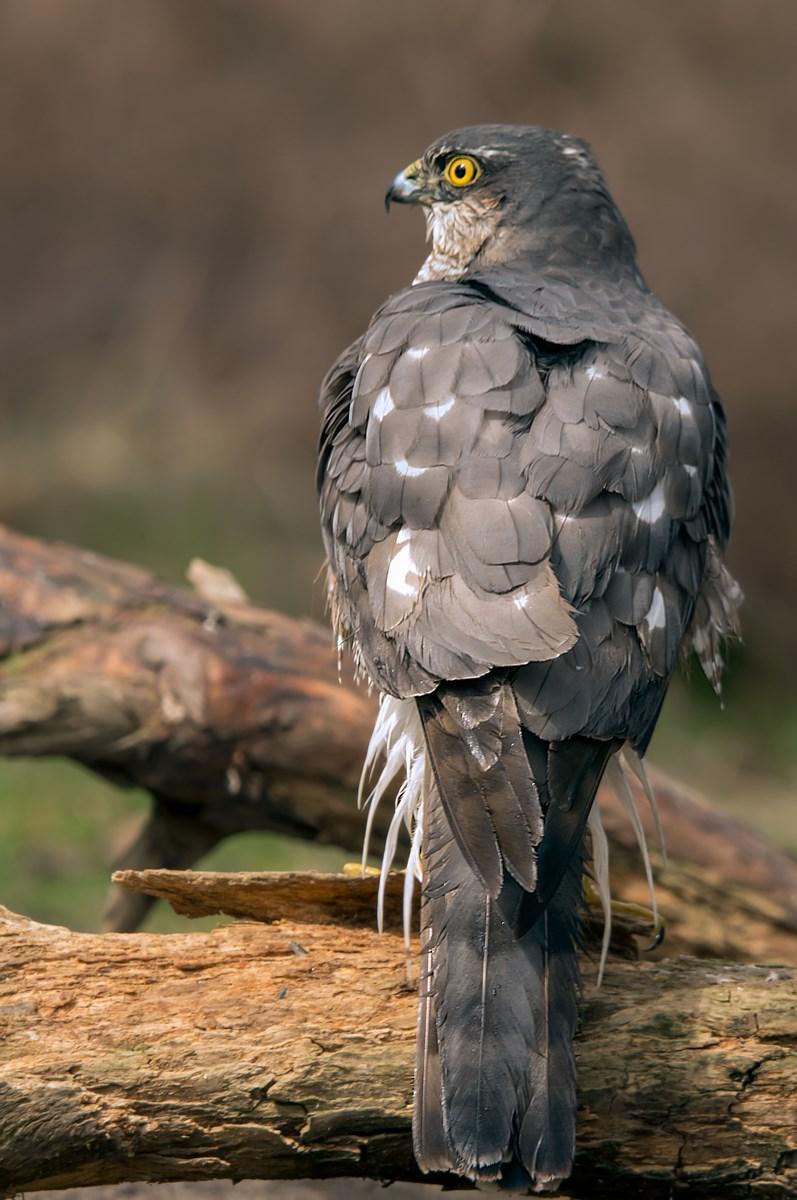 sperwer (Accipiter nisus) (6)