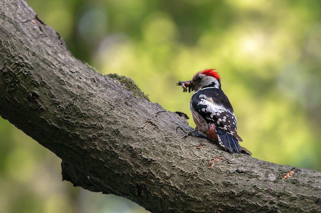 Middelste bonte specht (Dendrocoptes medius) middle spotted woodpecker (8)
