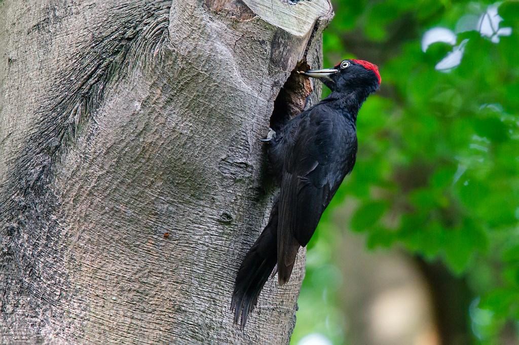 zwarte specht (Dryocopus martius) (4)