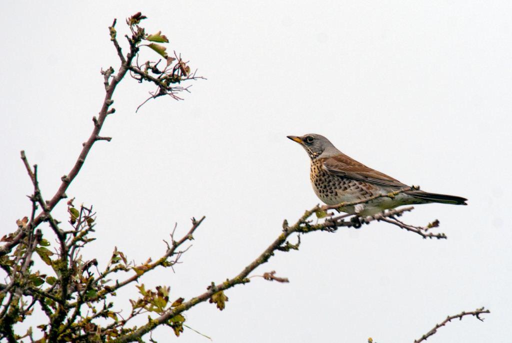 Kramsvogel
