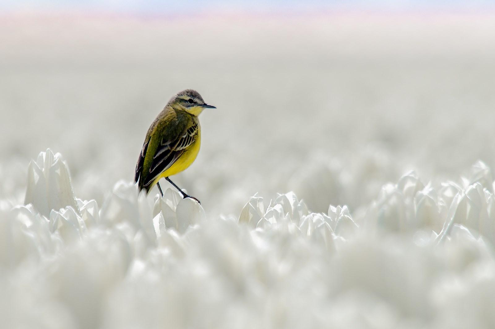 Gele kwikstaart in tulpenbollen (1)