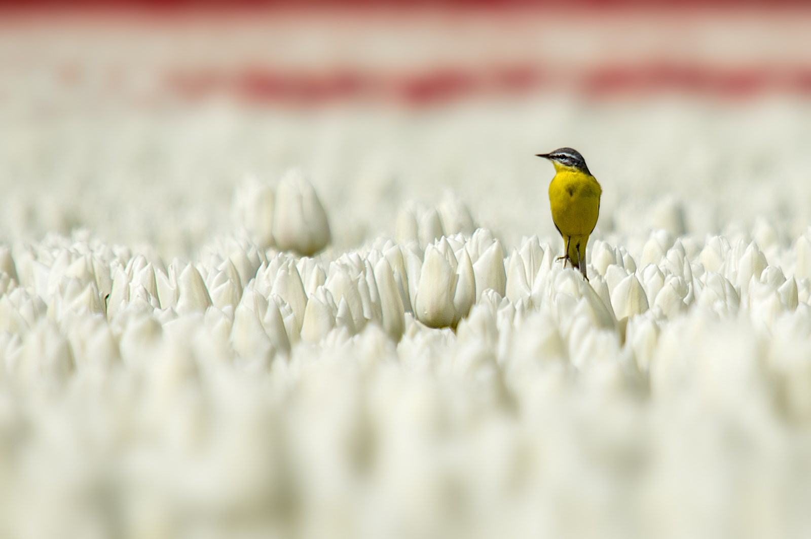 Gele kwikstaart in tulpenbollen (2)