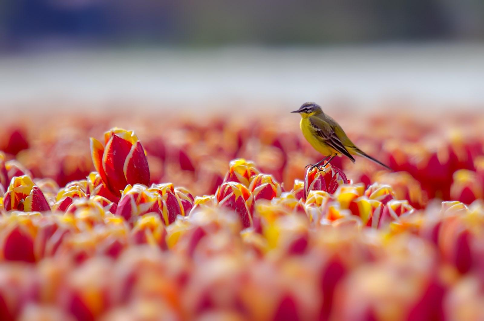 Gele kwikstaart in tulpenbollen (3)
