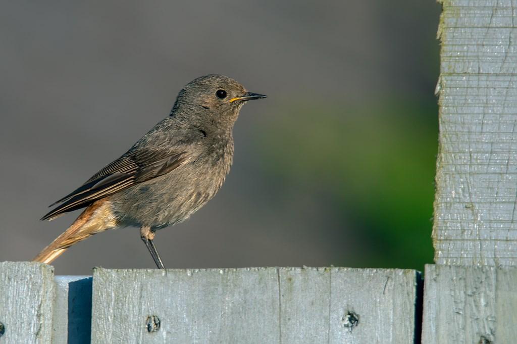 Zwarte roodstaart (Phoenicurus ochruros) (10)