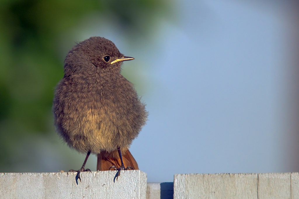 Zwarte roodstaart (Phoenicurus ochruros) (2)