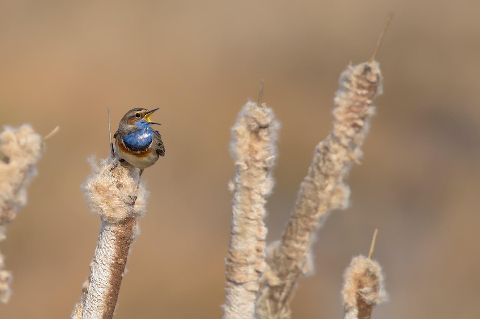 blauwborst (Luscinia svecica) (5)
