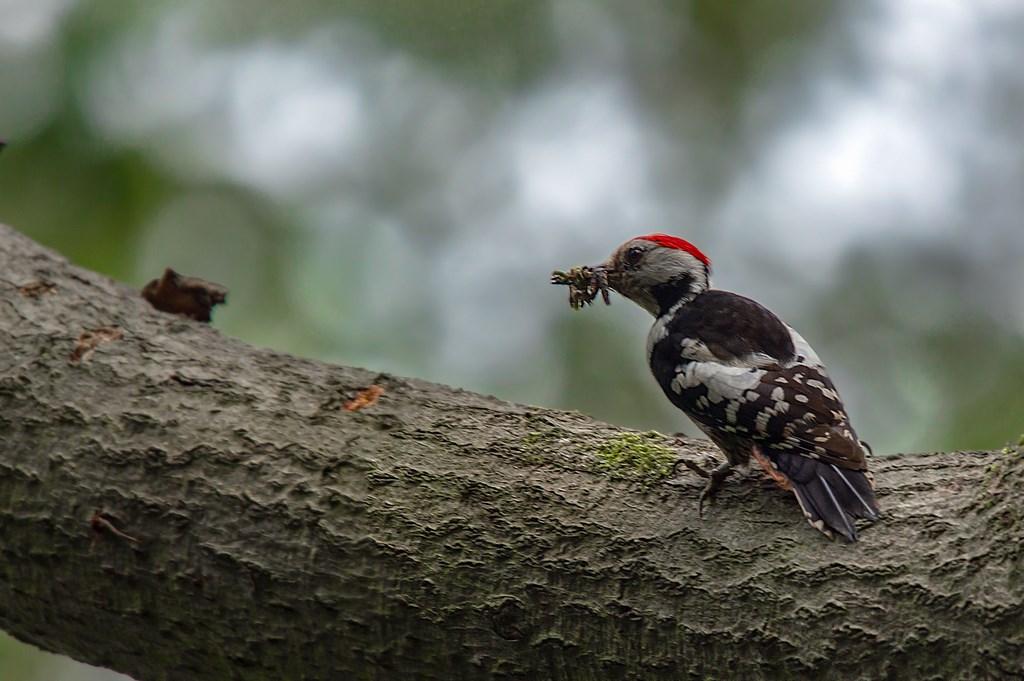 middelste bonte specht (Dendrocoptes medius) middle spotted woodpecker (3)