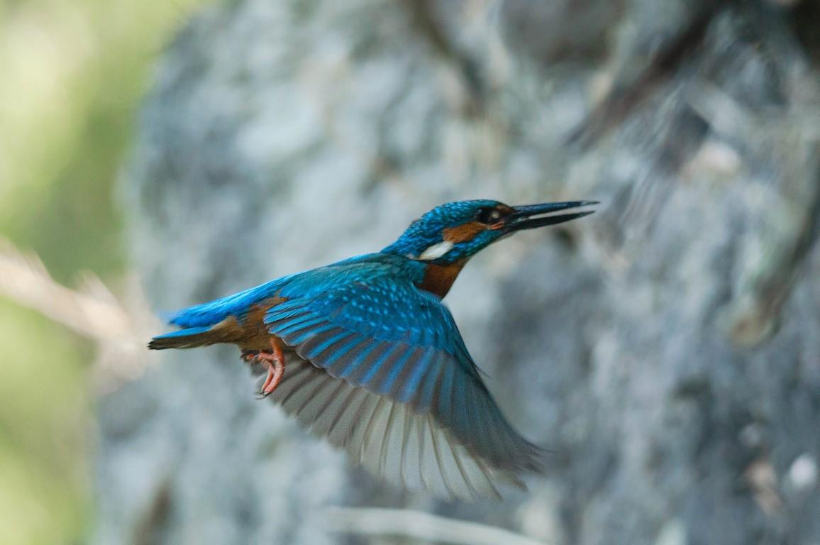 IJsvogel nestgang (6)