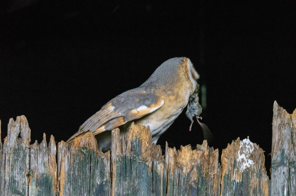 kerkuil (Tyto alba) (3)