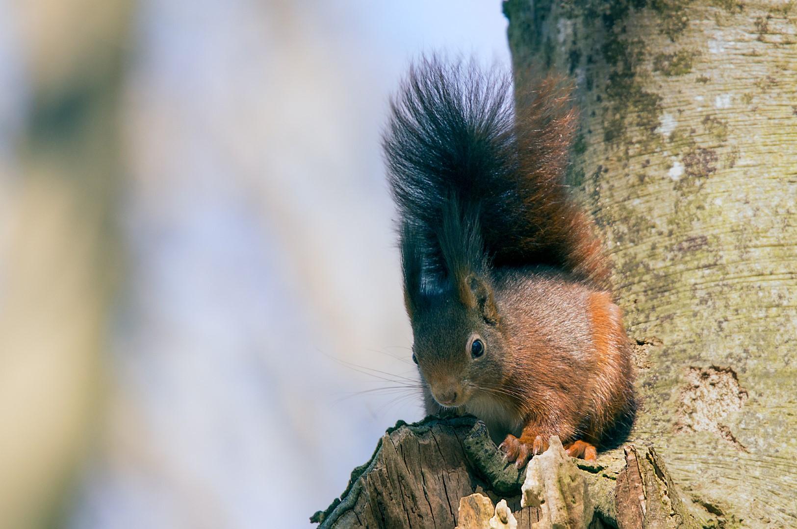 eekhoorn (Sciurus vulgaris)