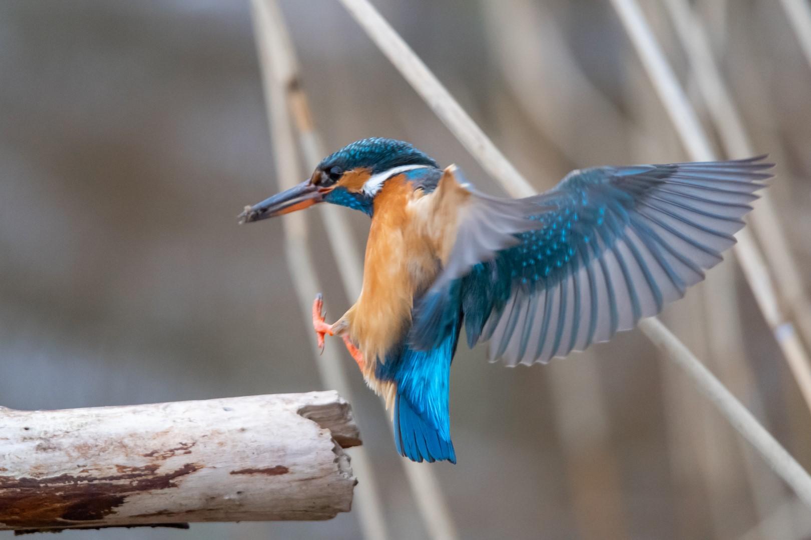 IJsvogel (Alcedo Atthis) Kingfisher (1)
