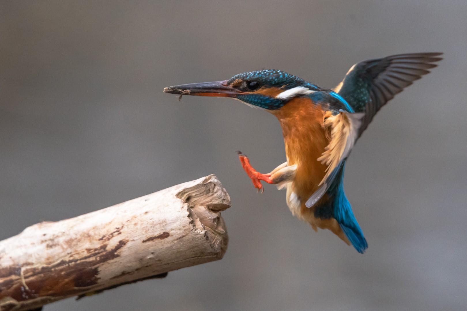 IJsvogel (Alcedo Atthis) Kingfisher (2)