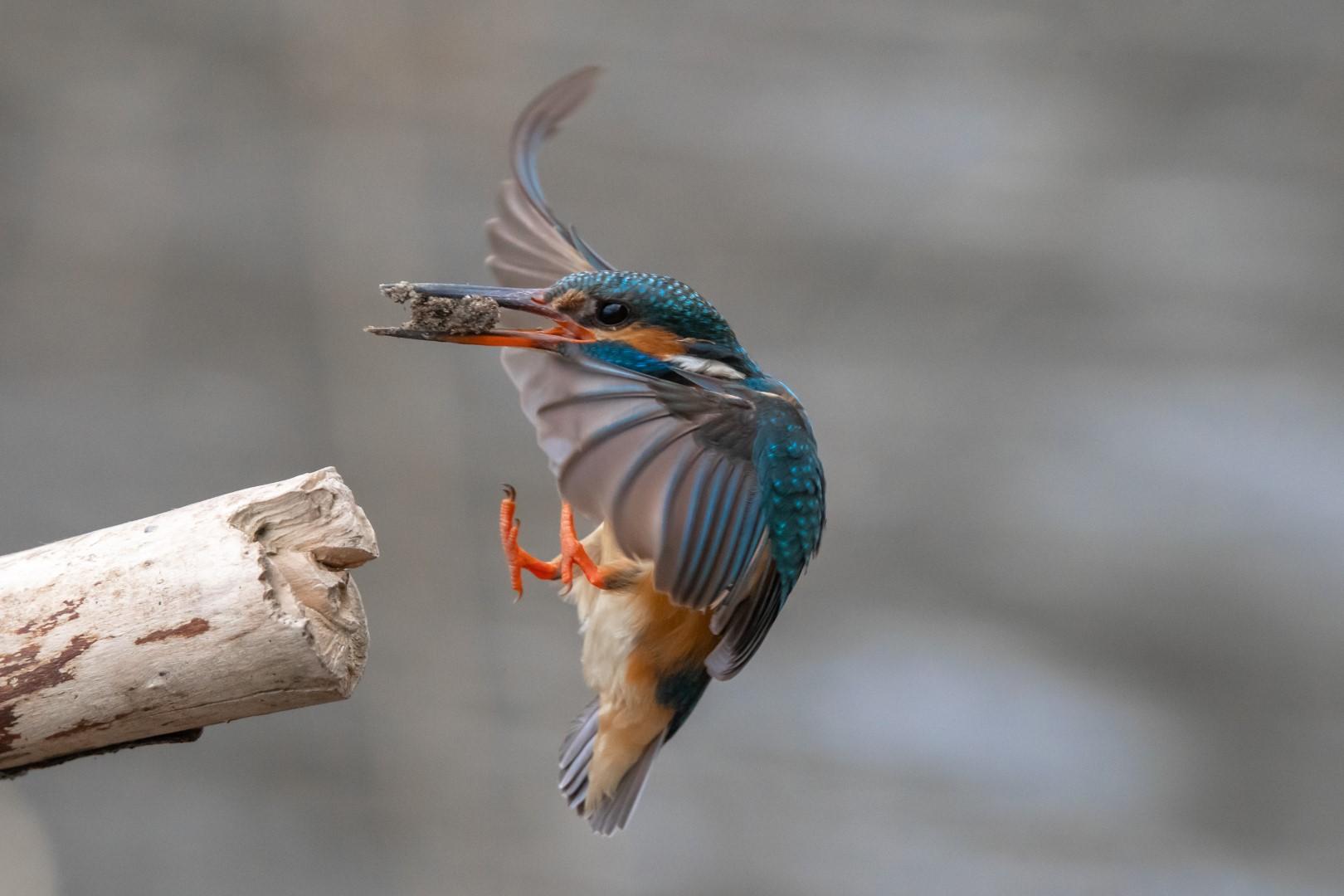 IJsvogel (Alcedo Atthis) Kingfisher (3)